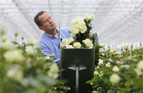 dans la serre de meijer roses